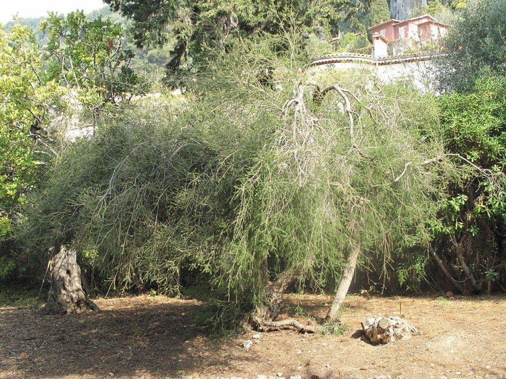 Photo d'un arbre à thé, aussi appelé melaleuca alternifolia
