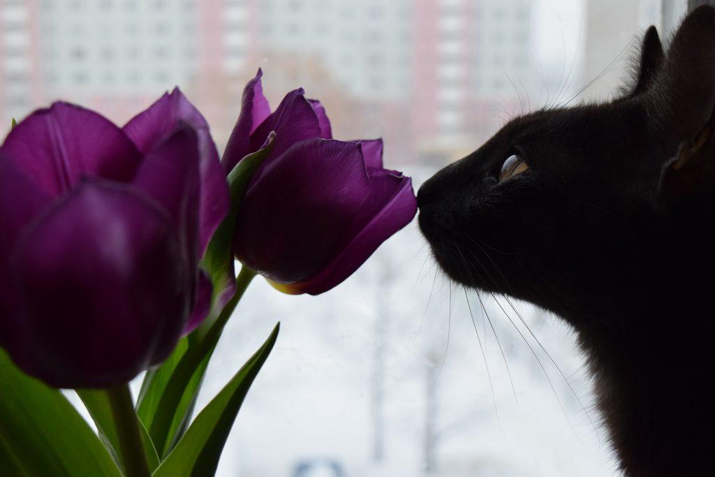 Chat noir qui renifle une tulipe violette